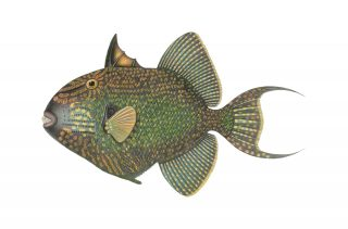 http://archiveswhisky.com/wp-content/uploads/2020/05/triggerfish-320x211.jpg